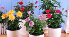 玫瑰是哪些个国家的国花?冬天盆栽玫瑰怎么养?