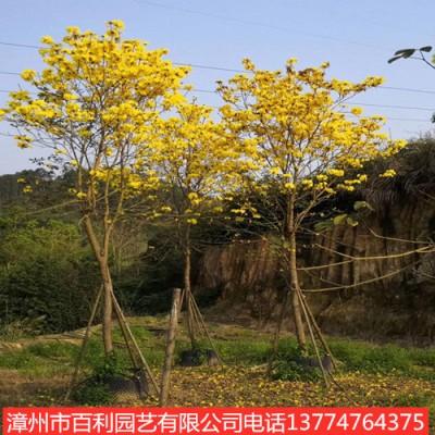 供应黄花风铃木庭院种植漳州基地直销多规格供应