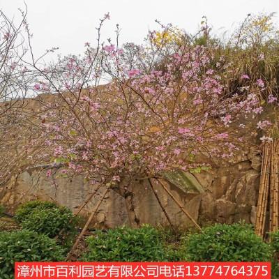 供应宫粉紫荆 行道树 园林景观 量大从优 漳州基地直销