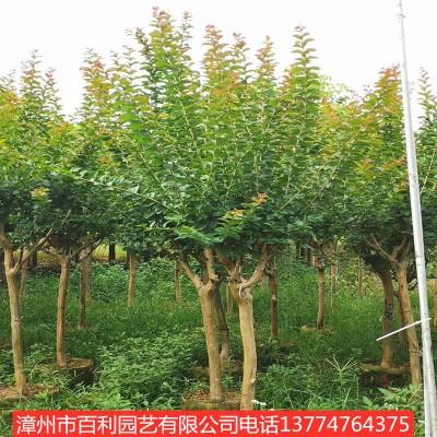 供应紫薇绿化工程四季常青漳州基地直销多规格供应