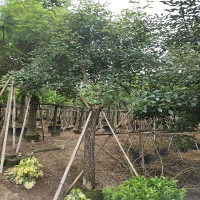 供应鸡冠刺桐绿化工程园林景观量大从优漳州基地直销
